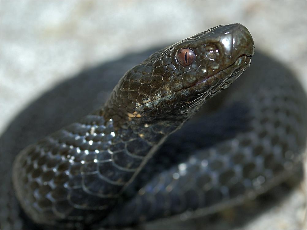 ядовитые змеи тульской области фото с названиями ещё ложилась, проснулся